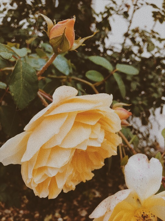 Fall-yellow-roses
